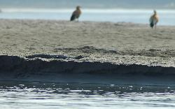 From the boat we see the wildlife at the national park's boundary; here a rare Gharial crocodile is resting on the bank.