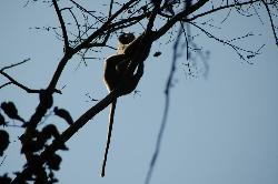 These monkeys can often be found near deer; the monkeys watch out for predators from trees...