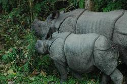 Female rhino with her baby; this is the moment where they get aggressive easily.