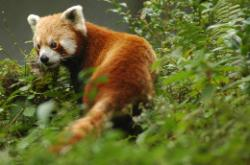 The Red Panda is the national animal of Sikkim but very hard to find; this picture was taken under controlled conditions.